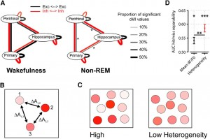"Figure 4. A, Summary of main findings on spike-based functional connectivity in rats (Olcese et al., 2016). Coupling was measured as pairwise cMI between single neurons. During wakefulness, cMI between neurons located in the same or different areas is largely balanced (left) for both excitatory and inhibitory neurons (black and red lines, respectively). In NREM sleep, interareal (but not intra-area) coupling between excitatory neurons is significantly reduced. This did not apply to intra-area cMI and interareal cMI (between interneurons). Line thickness indicates the proportion of neuronal pairs for which cMI was significantly >0. Asterisks indicate which connections showed a significant change between wakefulness and NREM sleep (the only significant differences found pertained to interareal coupling between excitatory neurons). Thus, during NREM sleep, neural computations may continue in local ""islands of activity,"" whereas global integration capabilities are reduced. B, Calculation of heterogeneity across a neuronal population (compare Montijn et al., 2015). A measure of a neuronal activity change (A, e.g., the relative fluorescence response of a neuron in 2-photon imaging, dF/F0) is computed across all neurons. Next, the responses are z-scored per neuron across all trials and all trial types (e.g., in a given session, visual stimuli are presented at 6 different contrasts; each contrast is presented 20 times; 120 trials in total). Per trial, the absolute difference in z-scored activity is then calculated across all pairs of neurons (e.g., ΔA1,2 is the difference between the responses of neurons 1 and 2). The population heterogeneity in a given trial is the mean of activity differences across all pairs. C, Examples of high (left) versus low heterogeneity (right) in a neuronal population, where response strength is indicated by color saturation. D, In a visual stimulus detection task performed by mice that were subjected to 2-photon imaging of V1 neuronal populations, heterogeneity was better capable of separating hit (detection) and miss (nondetection) trials than the mean fluorescence response (area under the curve resulting from receiver-operating characteristic analysis). Both measures predicted response behavior above chance: mean response, *p < 0.05; heterogeneity, ***p < 0.001; area under the curve = 0.5, chance level. Behavior was predicted better by heterogeneity than mean response (**p < 0.01). Values are mean ± SEM across animals. Data from Montijn et al. (2015)."